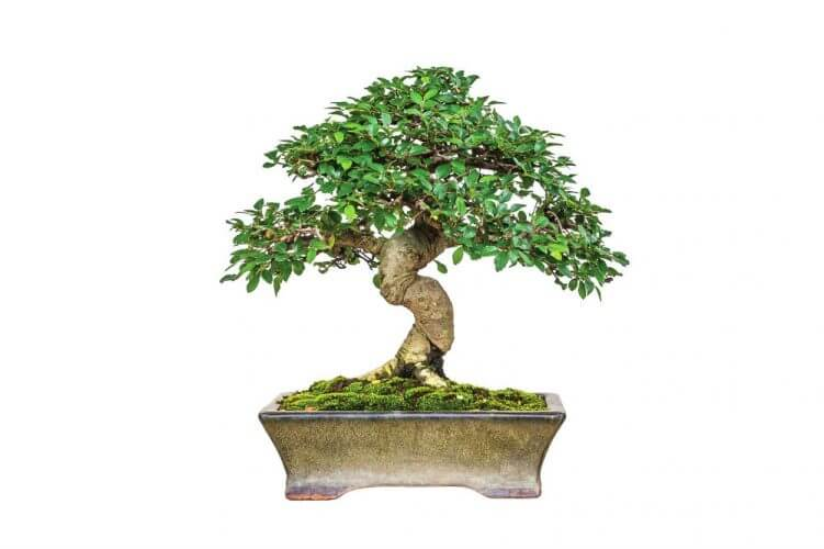 Lou's Bonsai Nursery Good Luck Money Bonsai Tree (Indoors)