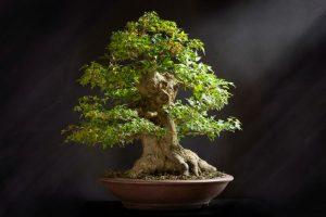 Bonsai Tree Maintenance