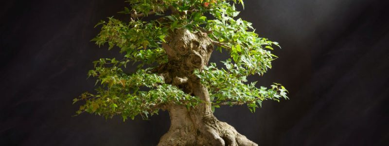 Bonsai Tree Maintenance