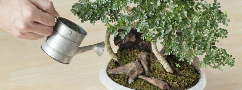 How to Take Care of a Bonsai Tree