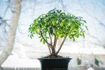 Best Indoor Bonsai Tree for Beginners
