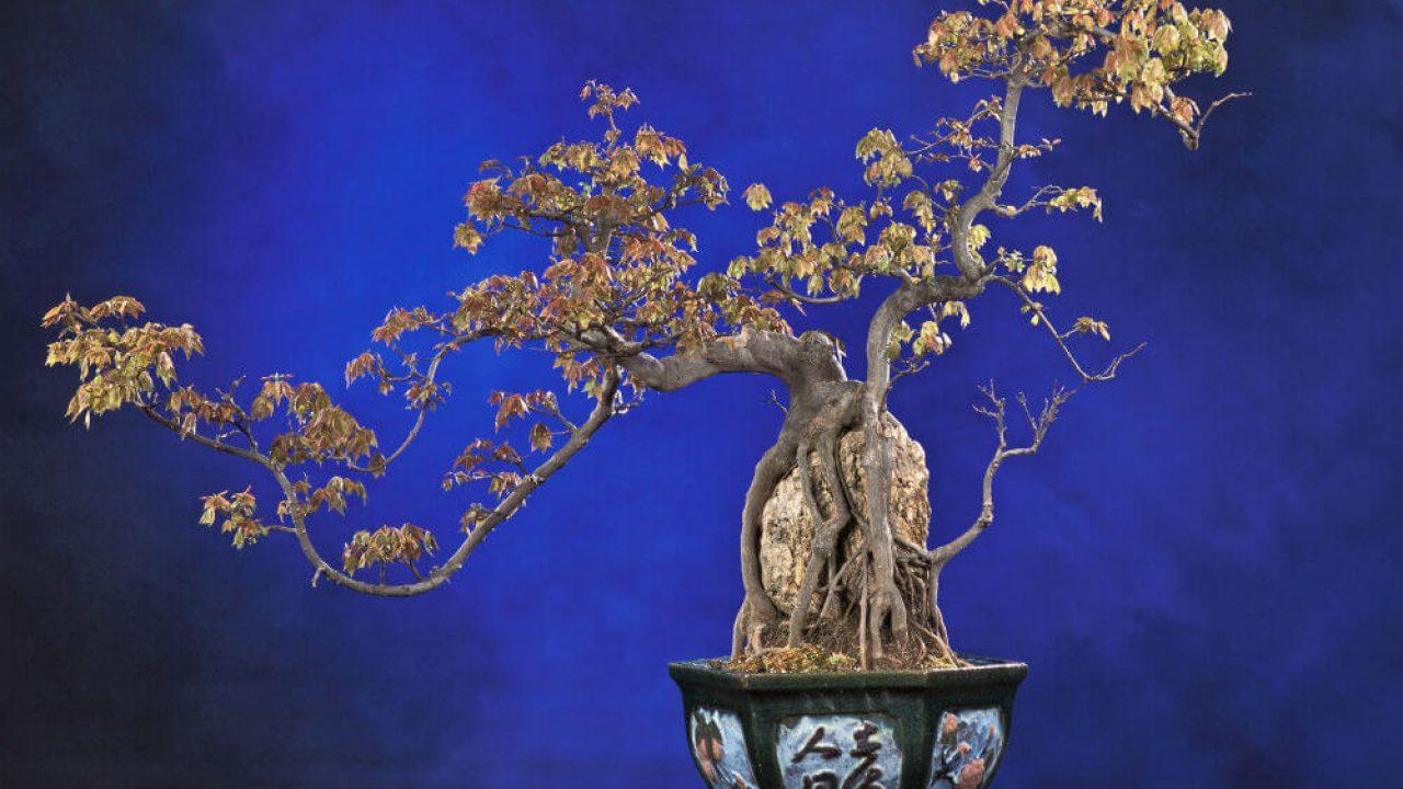 Bonsai Boy S Flowering Gardenia Bonsai Tree Medium Jasminoides Miami Supreme