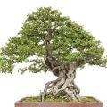 Juniper Procumbens Nana Bonsai Starter Plant