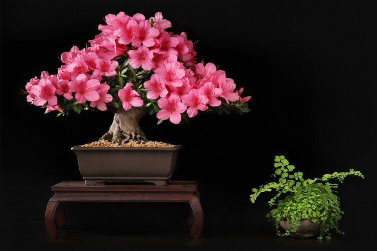 The-Azalea-Bonsai