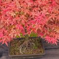 The-Japanese-Maple-Bonsai