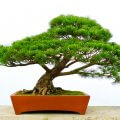The-Pine-Bonsai