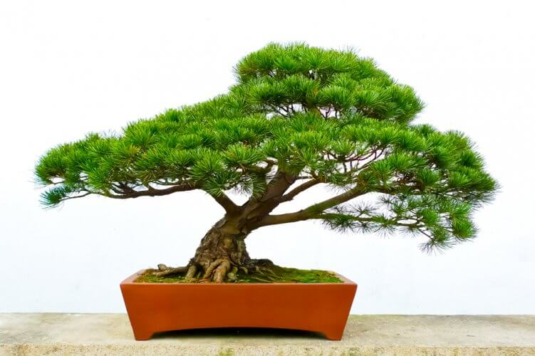 Sensational The Pine Bonsai Wiring Digital Resources Funapmognl