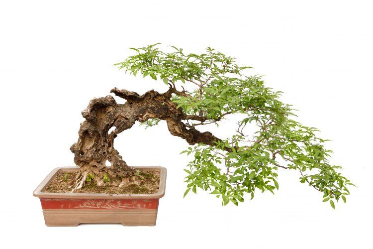 Semi-Cascade-Style-Han-Kengai