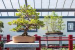 The Boxwood Bonsai