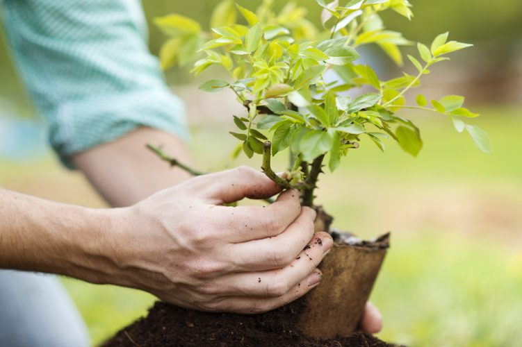Planting Bonsai